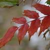 雪中散歩-柊南天の紅葉