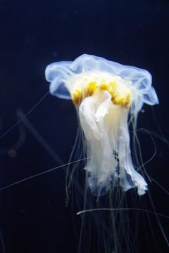 真冬のクラゲ‐キタユウレイクラゲの仲間