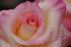 六月の薔薇-4