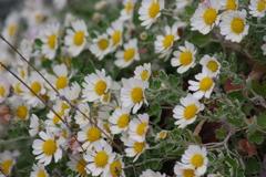 花散歩-白い小菊