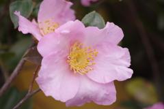花散歩‐桃色の山茶花