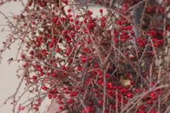 冬でも赤い実-コトネアスター
