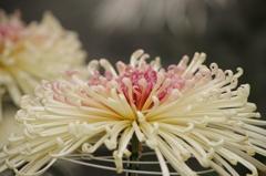 菊花スプラッシュ-4