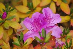 花散歩-紅葉したツツジ