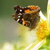 赤マダラ虫の蝶ではありません