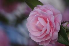 花散歩‐乙女の祈り