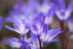 薬用植物園の春‐チオノドクサ・ルシリエ