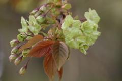 春を待つ心-御衣黄桜