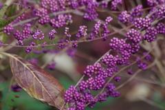 花散歩‐小紫