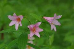 六月の花散歩-姫小百合