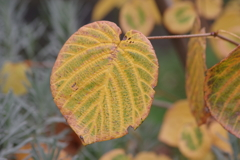 花散歩‐色変わりのハートの葉