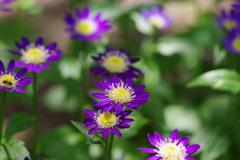 花散歩-ミヤコワスレ・紫
