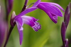 花散歩‐紫蘭