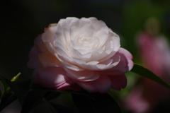 春を待つ心‐乙女椿