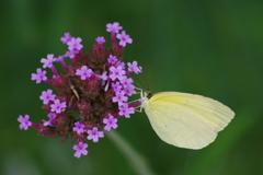 花散歩-三尺バーベナと黄蝶