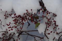 雪とバラの実