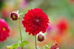花散歩-赤いダリア