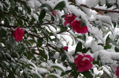 雪の中の花散歩₋山茶花2