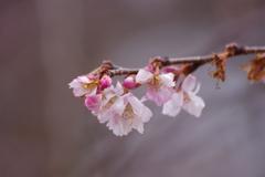 県民広場の十月桜