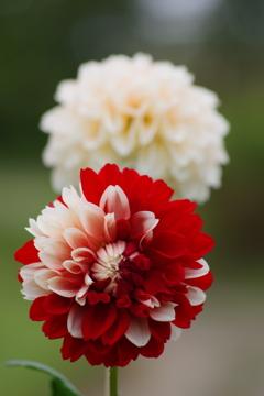 山形のダリア-花かんざし