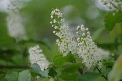 野草園で花散歩-ウワミズザクラ
