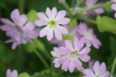 薬用植物園の春‐桜草