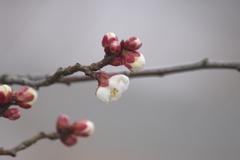 山形にも春の知らせ‐霞城公園の白梅4