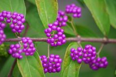 花散歩-小紫完熟