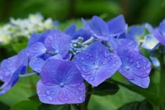 野草園-咢紫陽花