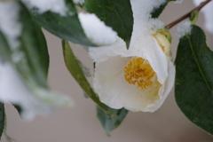 年度末の雪‐白椿