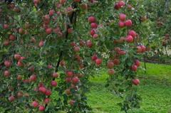 林檎畑の秋