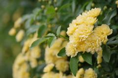 花散歩-垣根の木香薔薇