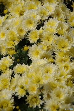 薄黄の小菊