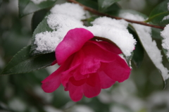雪の中の花散歩₋山茶花1