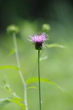 野草園で花散歩‐ノアザミ