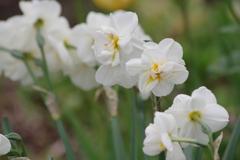 花散歩-八重の水仙