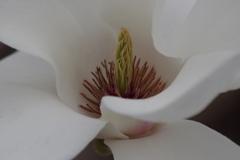 花散歩‐白木蓮