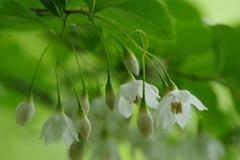 六月の花散歩-エゴノキ