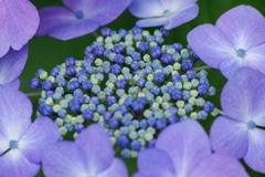野草園-紫陽花リング