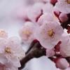 春を待つ心-杏