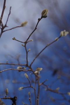 春を待つコブシ-1
