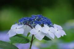 野草園の紫陽花-5
