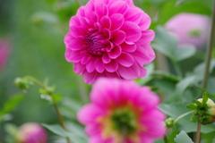 山形のダリア-一花