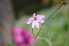 花散歩‐小さなコスモスに二番花が咲いている