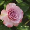 六月の薔薇‐浪漫