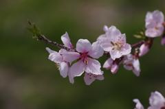 桃の花-1