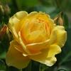 それでも薔薇は咲く‐グラハム トーマス