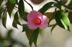 春を待つ心‐椿・太郎冠者2