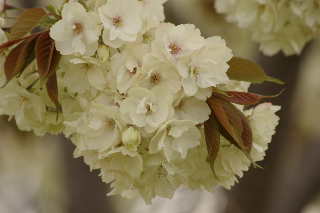 花散歩-鬱金桜