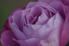 秋薔薇‐ブルーリバー